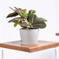 Potted Red Prayer Plant, Maranta | Bloomscape
