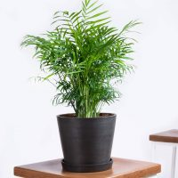 Potted Parlor Palm Indoor Plant