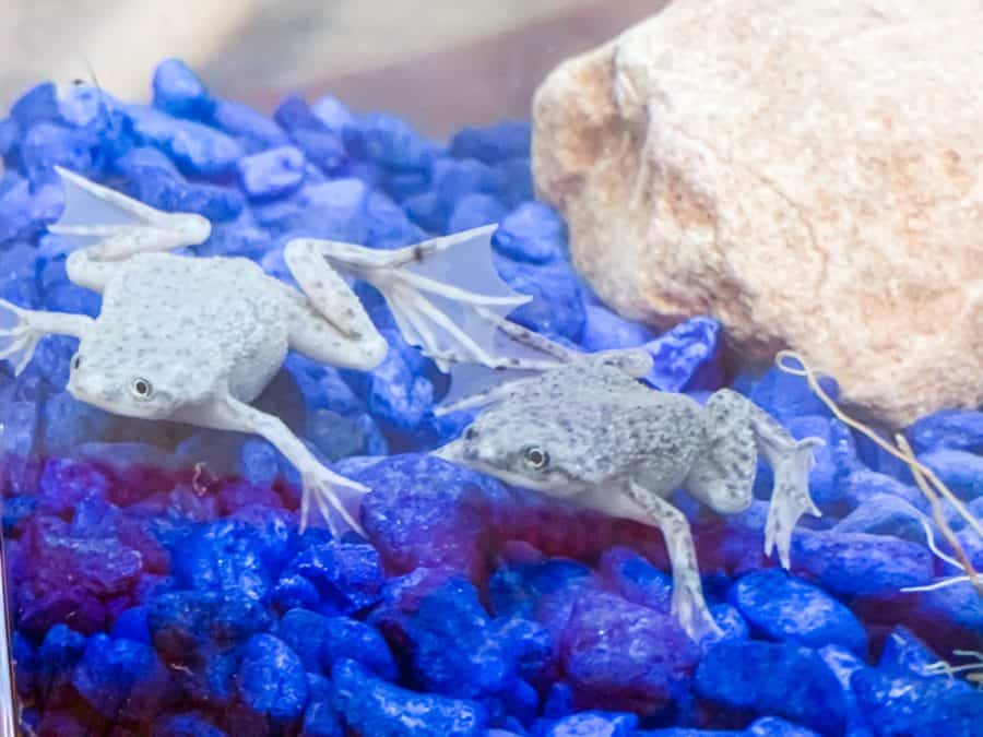 frog - Easiest House Pet Ever! - Froggy's Lair BioSphere